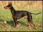 English Toy Terrier